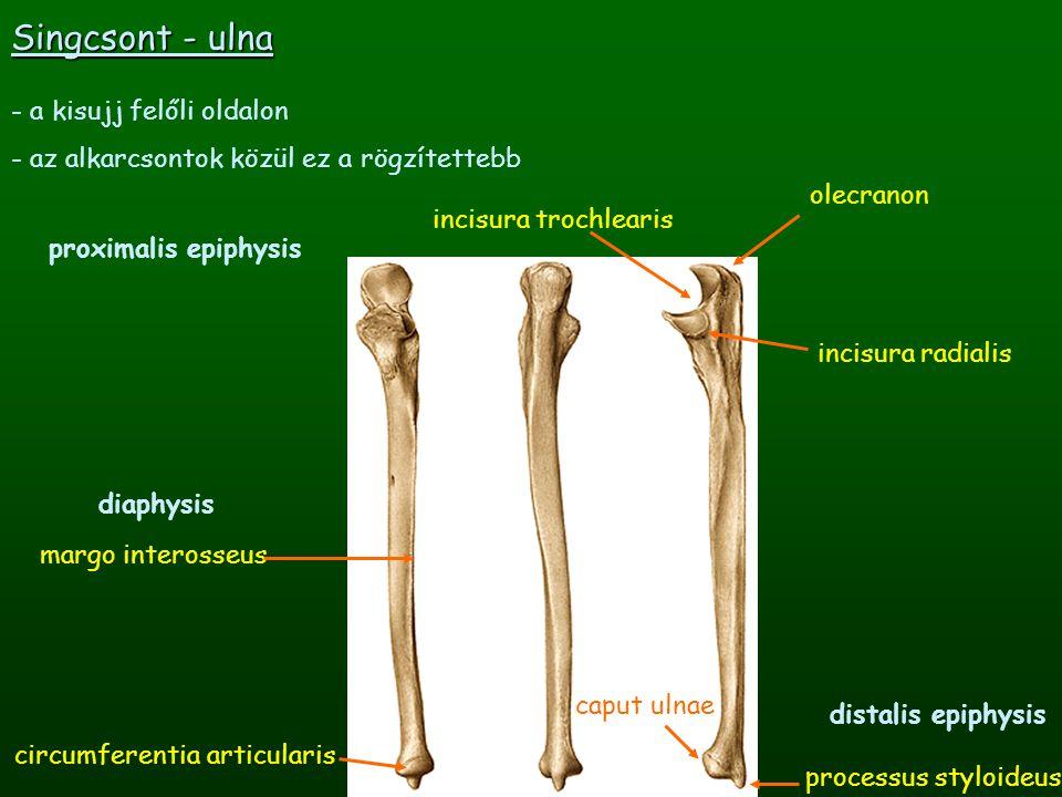 Orsócsont - radius - hüvelykujj felőli oldalon - az alkarcsontok közül ez a kevésbé rögzített - distalis epiphysis: a kéz síkjában kiszélesedik (dorsalisan domború!) incisura ulnaris processus styloideus facies articularis carpea caput radii circumferentia radialis tuberositas radii proximalis epiphysis margo interosseus diaphysis
