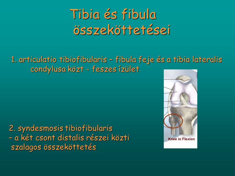 1. articulatio tibiofibularis – fibula feje és a tibia lateralis condylusa közt - feszes ízület 1. articulatio tibiofibularis – fibula feje és a tibia