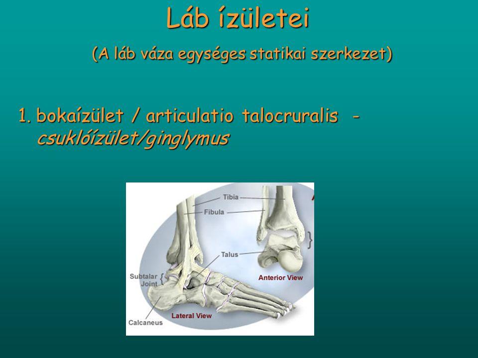 Láb ízületei (A láb váza egységes statikai szerkezet) 1.bokaízület / articulatio talocruralis - csuklóízület/ginglymus