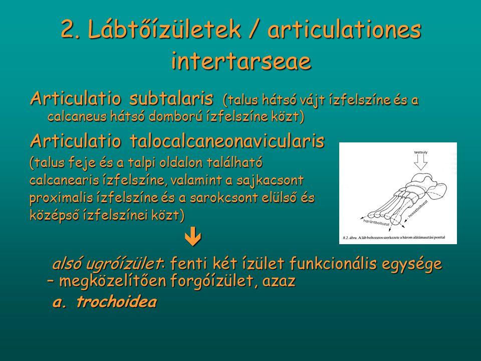 2. Lábtőízületek / articulationes intertarseae Articulatio subtalaris (talus hátsó vájt ízfelszíne és a calcaneus hátsó domború ízfelszíne közt) Artic