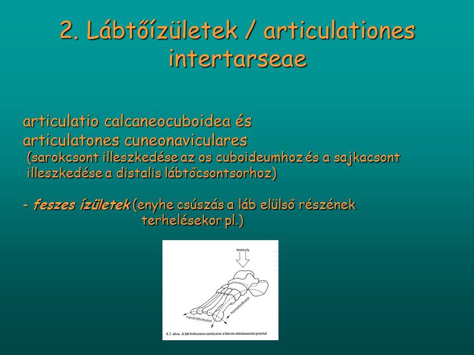 2. Lábtőízületek / articulationes intertarseae articulatio calcaneocuboidea és articulatones cuneonaviculares (sarokcsont illeszkedése az os cuboideum