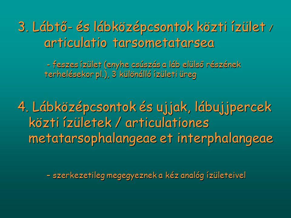 3. Lábtő- és lábközépcsontok közti ízület / articulatiotarsometatarsea - feszes ízület (enyhe csúszás a láb elülső részének terhelésekor pl.), 3 külön
