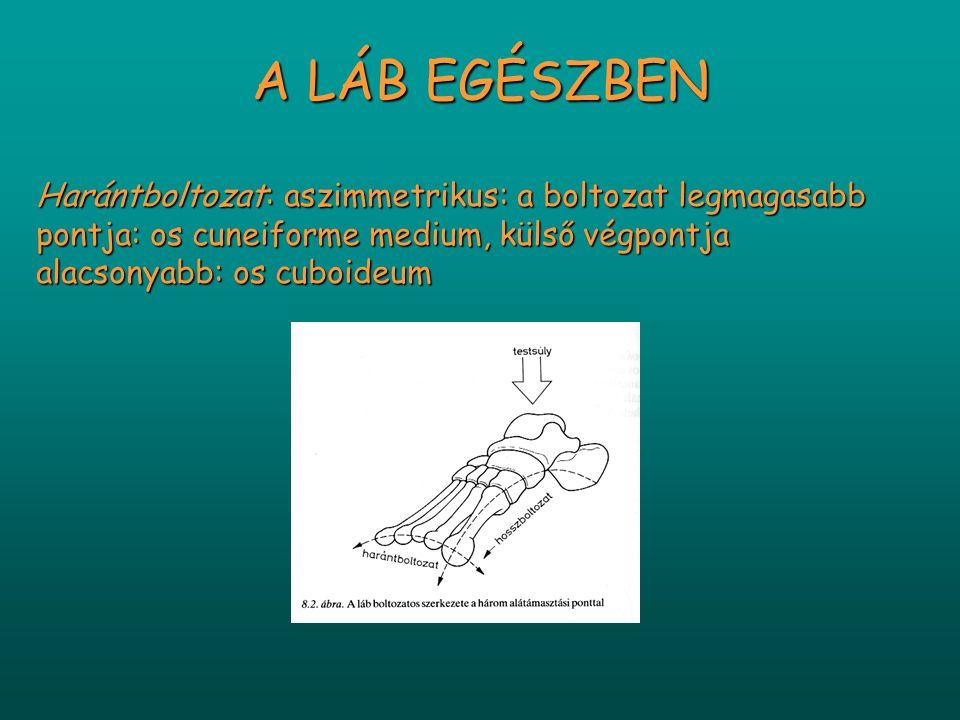 A LÁB EGÉSZBEN Harántboltozat: aszimmetrikus: a boltozat legmagasabb pontja: os cuneiforme medium, külső végpontja alacsonyabb: os cuboideum