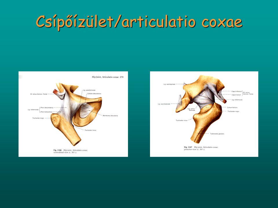 Bokaízület mozgásai Haránttengely (malleolus lateralis csúcsát köti össze a malleolus medialis alatt mintegy 1,5-2 cm-re eső ponttal) - dorsalflexio (ebben az állásban az ízület stabilabb; kb.
