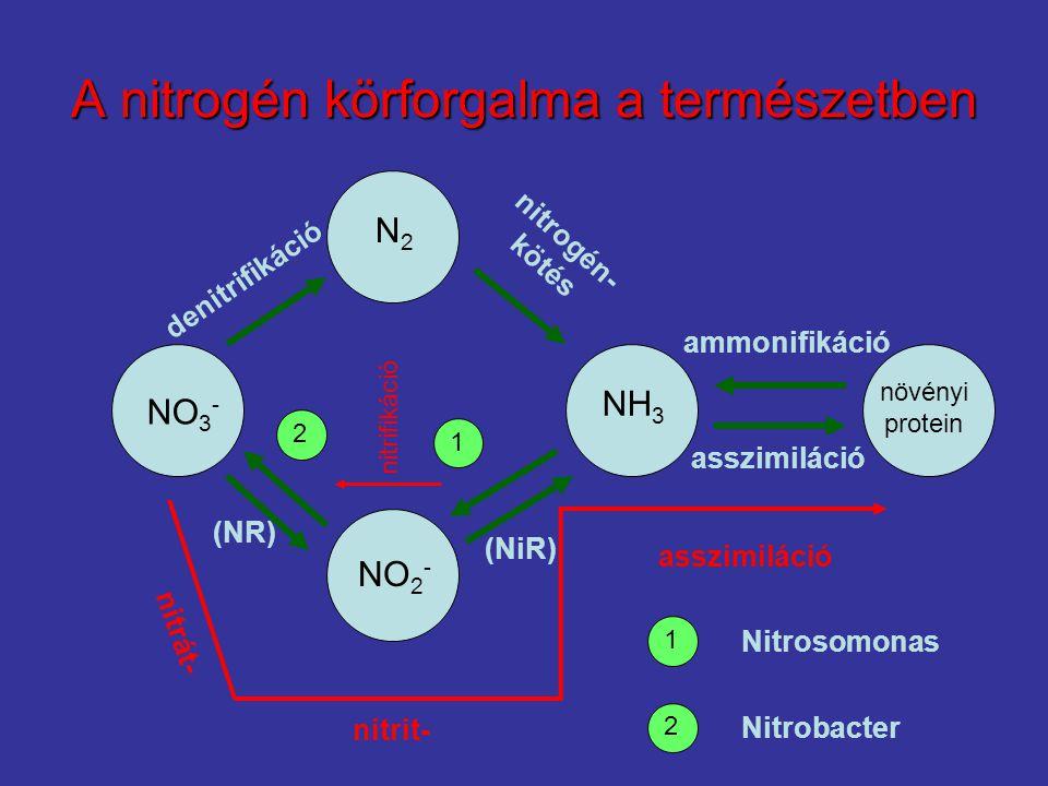A nitrogén körforgalma a természetben növényi protein NO 2 - NH 3 N2N2 NO 3 - 2 1 nitrát- asszimiláció nitrit- asszimiláció ammonifikáció nitrogén- kötés denitrifikáció (NR) (NiR) 2 1 Nitrosomonas Nitrobacter nitrifikáció