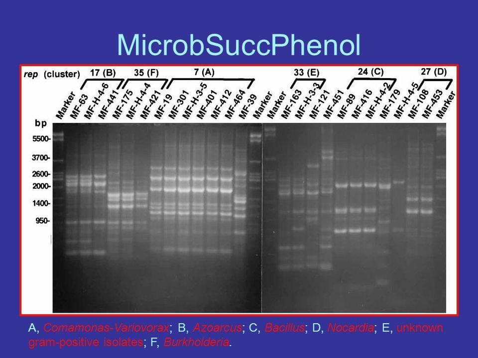 A, Comamonas-Variovorax; B, Azoarcus; C, Bacillus; D, Nocardia; E, unknown gram-positive isolates; F, Burkholderia.