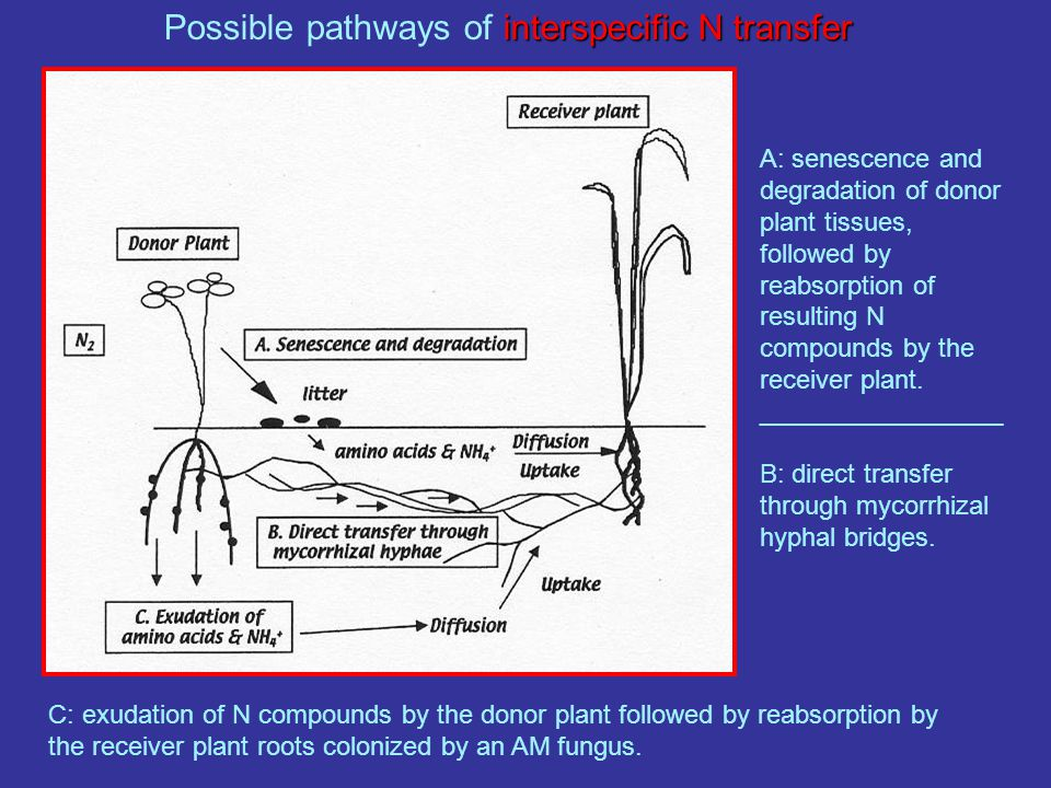 interspecific N transfer Possible pathways of interspecific N transfer A: senescence and degradation of donor plant tissues, followed by reabsorption of resulting N compounds by the receiver plant.