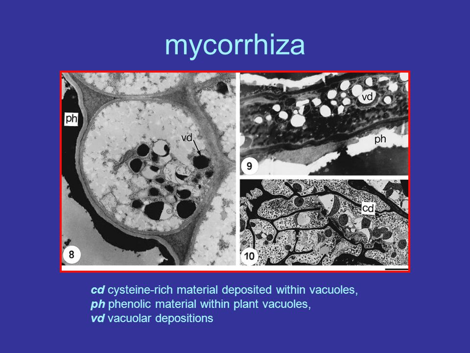 mycorrhiza cd cysteine-rich material deposited within vacuoles, ph phenolic material within plant vacuoles, vd vacuolar depositions