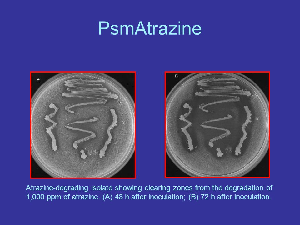 PsmAtrazine Atrazine-degrading isolate showing clearing zones from the degradation of 1,000 ppm of atrazine.