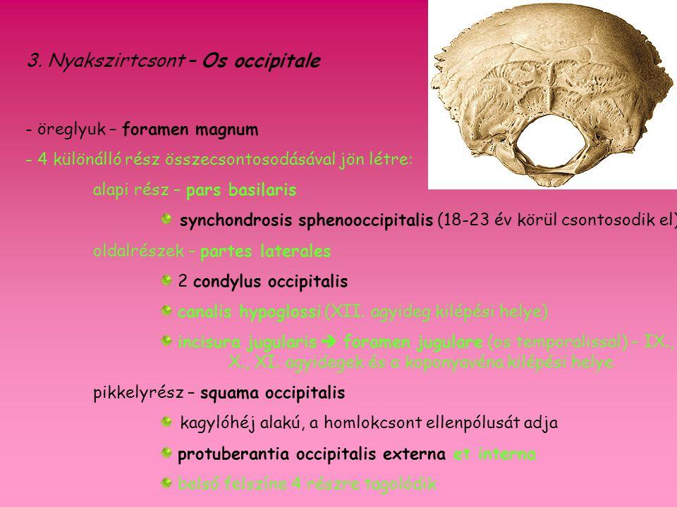 3. Nyakszirtcsont – Os occipitale - öreglyuk – foramen magnum - 4 különálló rész összecsontosodásával jön létre: alapi rész – pars basilaris synchondr