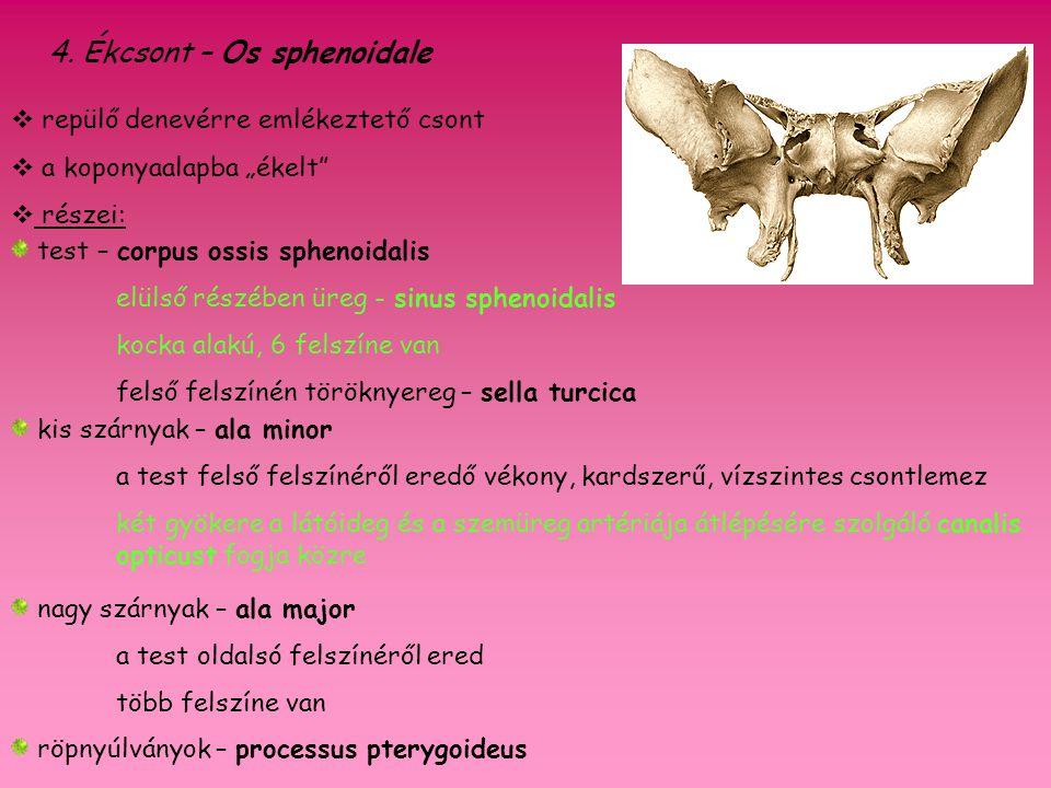 4. Ékcsont – Os sphenoidale test – corpus ossis sphenoidalis elülső részében üreg - sinus sphenoidalis kocka alakú, 6 felszíne van felső felszínén tör