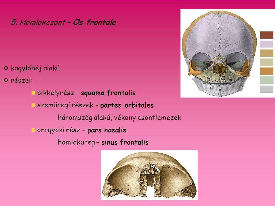 5. Homlokcsont – Os frontale  kagylóhéj alakú  részei: pikkelyrész – squama frontalis szemüregi részek – partes orbitales háromszög alakú, vékony cs