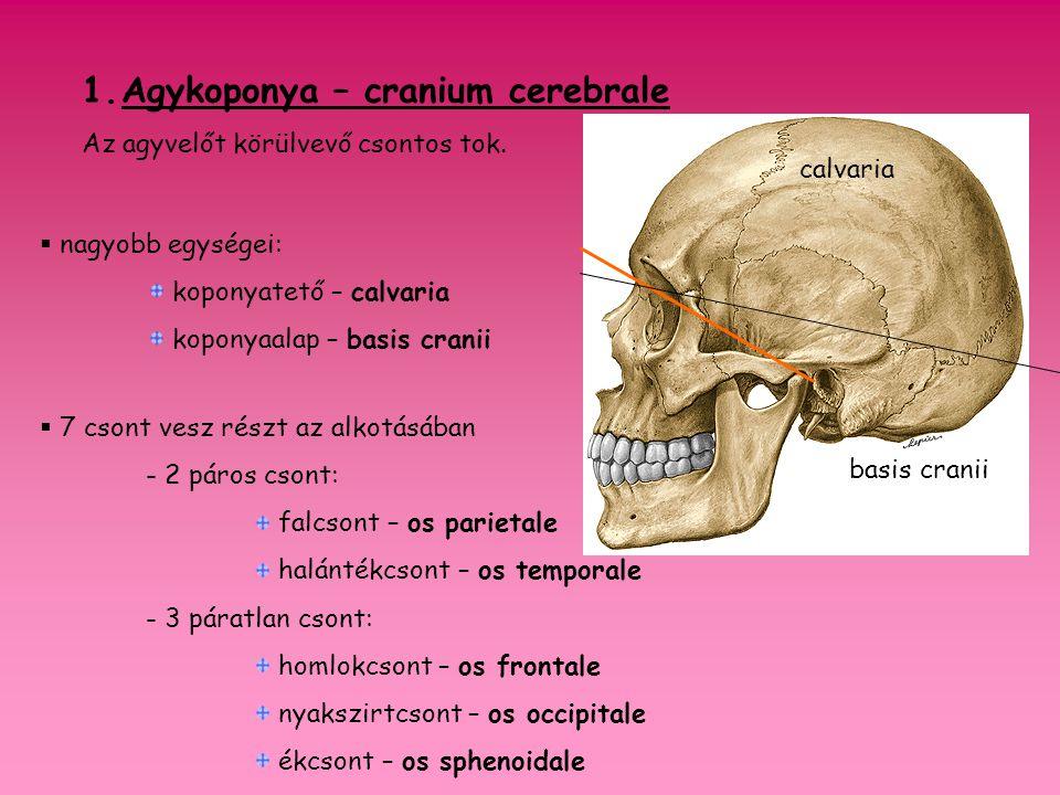 1.Agykoponya – cranium cerebrale Az agyvelőt körülvevő csontos tok.