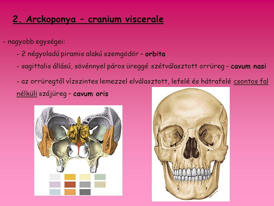 - 15 csont vesz részt az alkotásában: 6 páros csont felső állcsont – maxilla járomcsont – os zygomaticum orrcsont – os nasale alsó orrkagyló – concha nasalis inferior könnycsont – os lacrimale szájpadcsont – os palatinum 3 páratlan csont rostacsont – os ethmoidale ekecsont – vomer állkapocs - mandibula arckoponya képe!!!