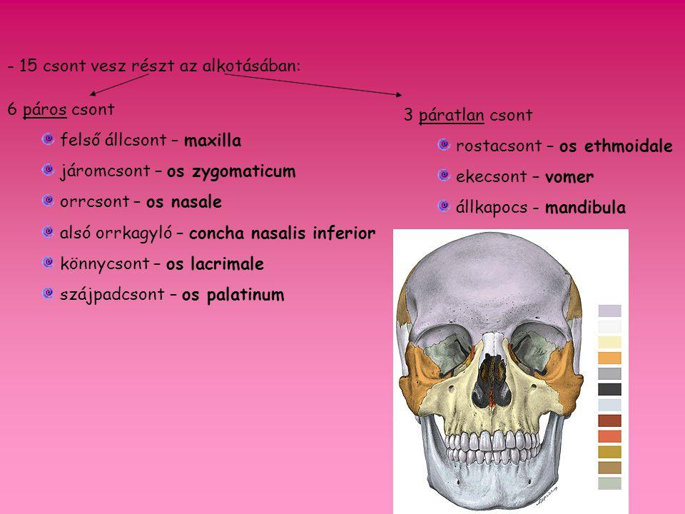 fissura orbitalis superior facies temporalis facies infratemporalis facies orbitalis facies maxillaris facies cerebralis sella turcica corpus ossis sphenoidalis ala minor ala major processus pterygoideus Os sphenoidale