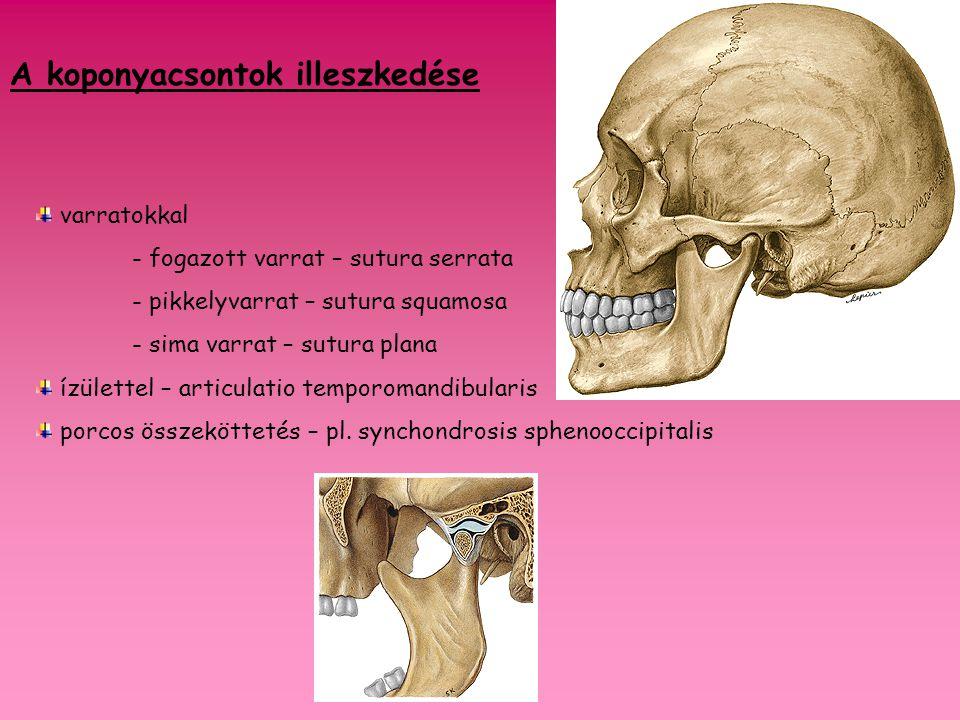 a koponyatető jelentős részét adja szabálytalan gömbhéj négyszögletes része, ennek megfelelően 4 széle és 4 szöglete van belső felszínén az agyerek benyomatainak hálózata látszik (sulci arteriosi) négy varrat határolja sutura coronalis sutura sagittalis sutura lambdoidea sutura squamosa tuber parietale (a csontosodási mag helye linea temporalis Az agykoponya csontjai 1.