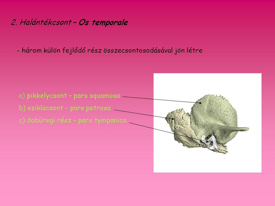 2. Halántékcsont – Os temporale - három külön fejlődő rész összecsontosodásával jön létre a) pikkelycsont – pars squamosa b) sziklacsont – pars petros