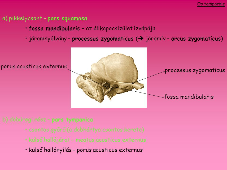 a) pikkelycsont – pars squamosa fossa mandibularis – az állkapocsízület ízvápája járomnyúlvány – processus zygomaticus (  járomív – arcus zygomaticus) b) dobüregi rész – pars tympanica csontos gyűrű (a dobhártya csontos kerete) külső hallójárat – meatus acusticus externus külső hallónyílás – porus acusticus externus fossa mandibularis processus zygomaticus porus acusticus externus Os temporale