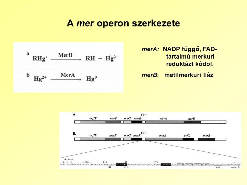 A mer operon szerkezete merA: NADP függő, FAD- tartalmú merkuri reduktázt kódol.