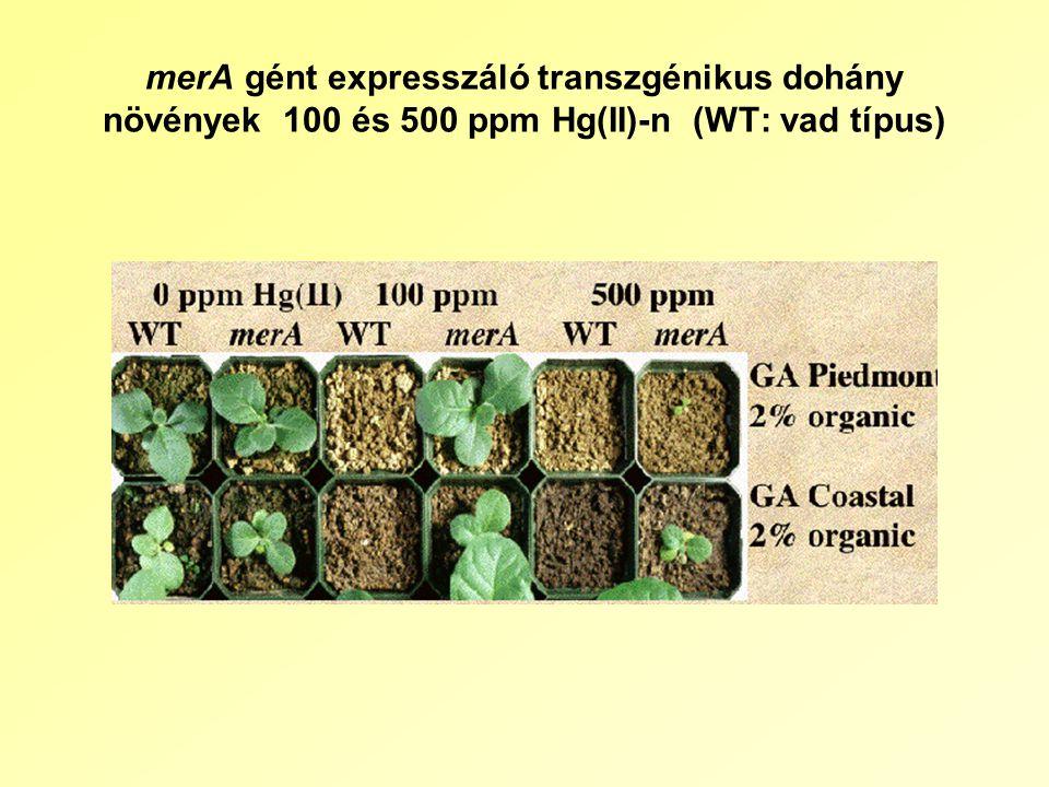 merA gént expresszáló transzgénikus dohány növények 100 és 500 ppm Hg(II)-n (WT: vad típus)