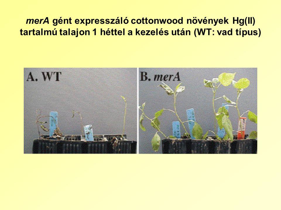 merA gént expresszáló cottonwood növények Hg(II) tartalmú talajon 1 héttel a kezelés után (WT: vad típus)