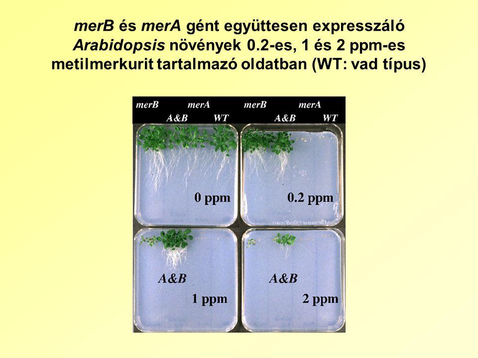 merB és merA gént együttesen expresszáló Arabidopsis növények 0.2-es, 1 és 2 ppm-es metilmerkurit tartalmazó oldatban (WT: vad típus)