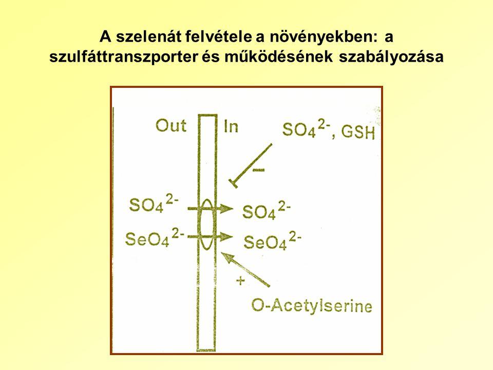 A szelenát felvétele a növényekben: a szulfáttranszporter és működésének szabályozása