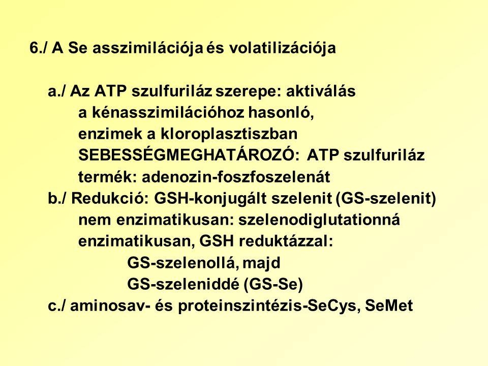 6./ A Se asszimilációja és volatilizációja a./ Az ATP szulfuriláz szerepe: aktiválás a kénasszimilációhoz hasonló, enzimek a kloroplasztiszban SEBESSÉGMEGHATÁROZÓ: ATP szulfuriláz termék: adenozin-foszfoszelenát b./ Redukció: GSH-konjugált szelenit (GS-szelenit) nem enzimatikusan: szelenodiglutationná enzimatikusan, GSH reduktázzal: GS-szelenollá, majd GS-szeleniddé (GS-Se) c./ aminosav- és proteinszintézis-SeCys, SeMet