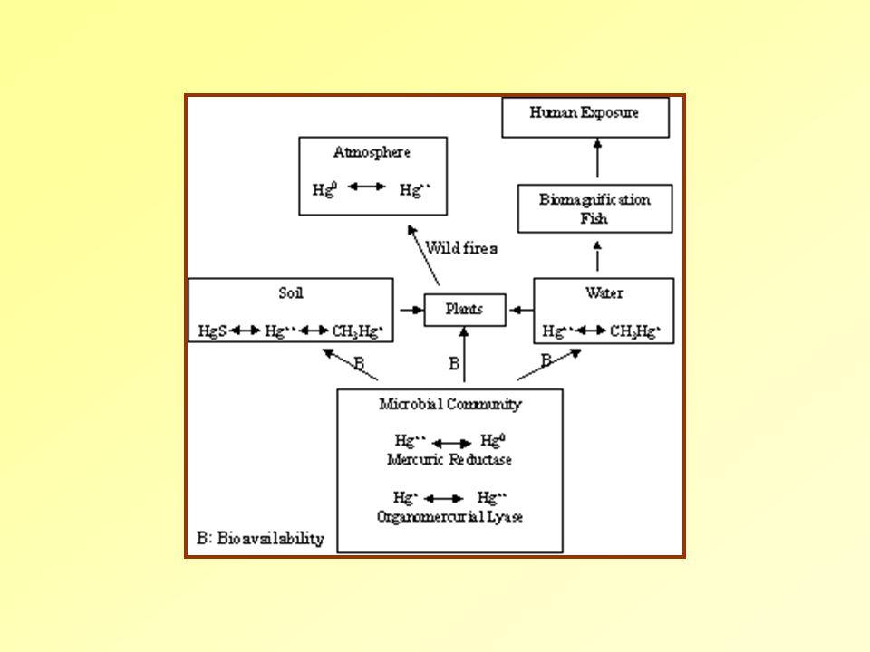 2.Esettanulmány:  Minamata öböl, Japán Egy acetaldehidet gyártó üzem mellékterméke ülepedett ki.