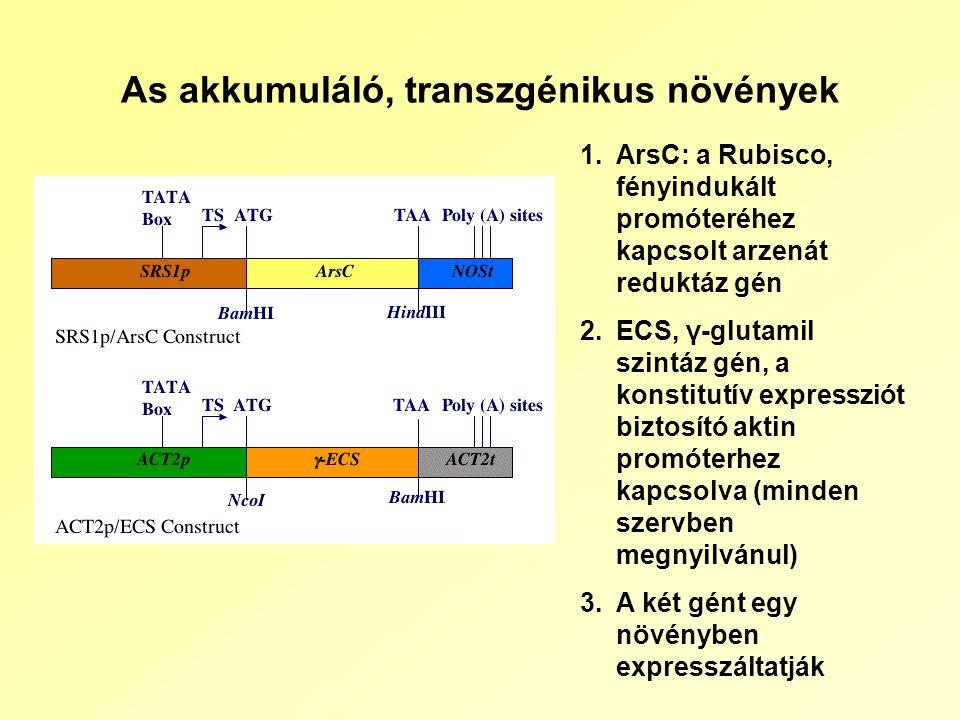 As akkumuláló, transzgénikus növények 1.ArsC: a Rubisco, fényindukált promóteréhez kapcsolt arzenát reduktáz gén 2.ECS, γ-glutamil szintáz gén, a konstitutív expressziót biztosító aktin promóterhez kapcsolva (minden szervben megnyilvánul) 3.A két gént egy növényben expresszáltatják