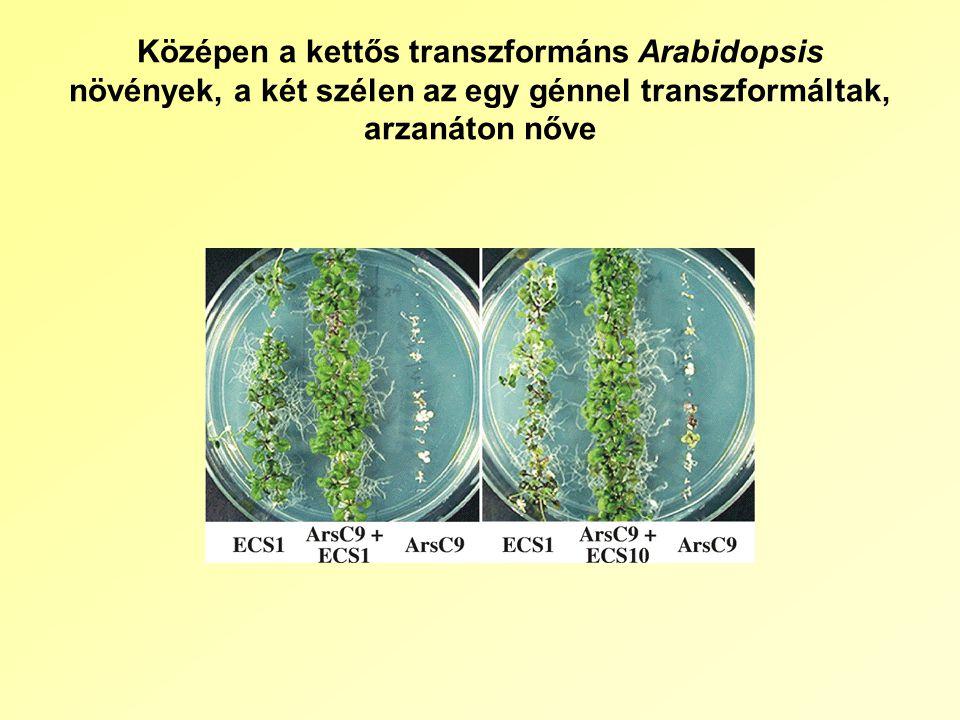Középen a kettős transzformáns Arabidopsis növények, a két szélen az egy génnel transzformáltak, arzanáton nőve