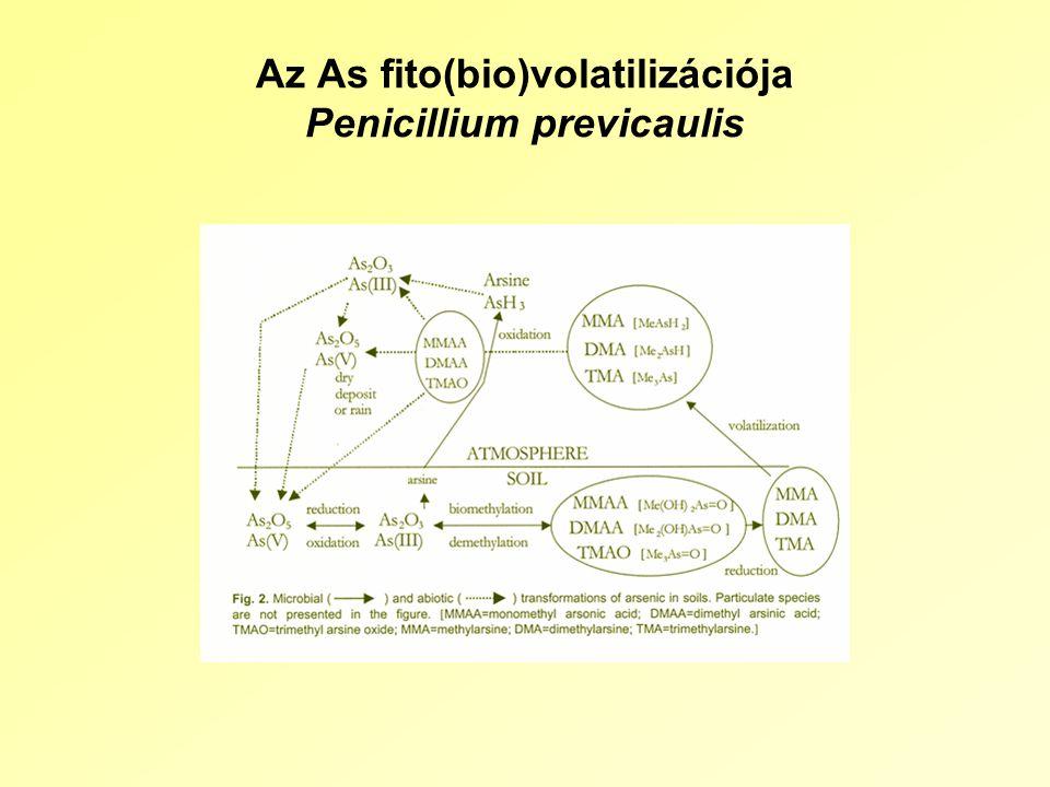Az As fito(bio)volatilizációja Penicillium previcaulis