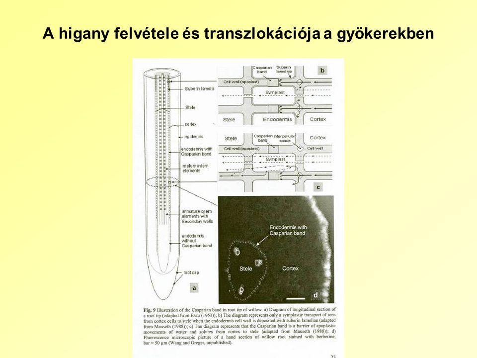 A higany felvétele és transzlokációja a gyökerekben