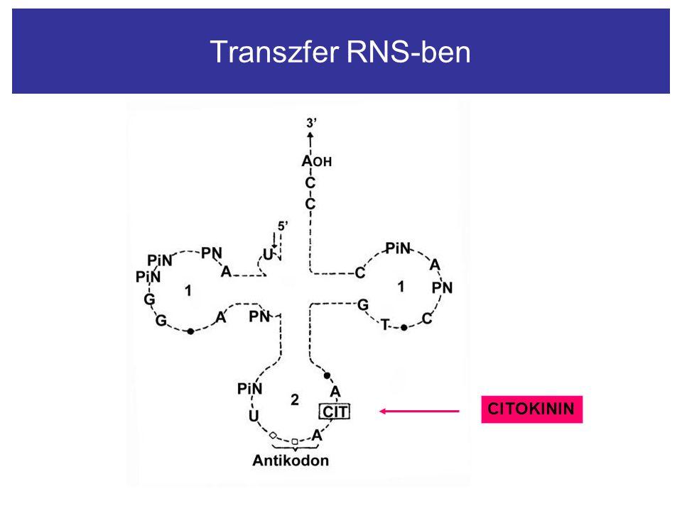 Transzfer RNS-ben CITOKININ