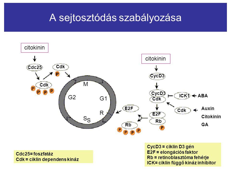 A sejtosztódás szabályozása citokinin Cdc25 Cdk M S S R G2 G1 citokinin CycD3 Cdk ICK1 Cdk ABA Auxin Citokinin GA E2F Rb E2F Rb Cdc25= foszfatáz Cdk =