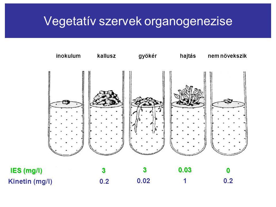 Vegetatív szervek organogenezise inokulum kallusz gyökérhajtás nem növekszik IES (mg/l) Kinetin (mg/l) 3 30.03 0 0.2 0.0210.2
