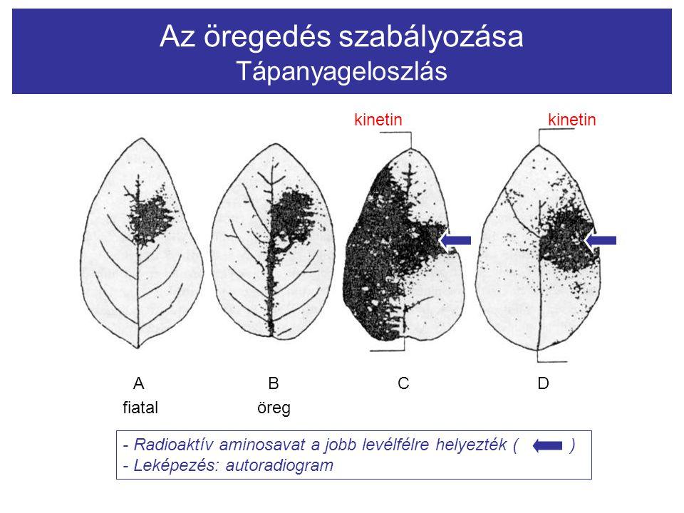 Az öregedés szabályozása Tápanyageloszlás ABCD kinetin fiatal öreg - Radioaktív aminosavat a jobb levélfélre helyezték ( ) - Leképezés: autoradiogram