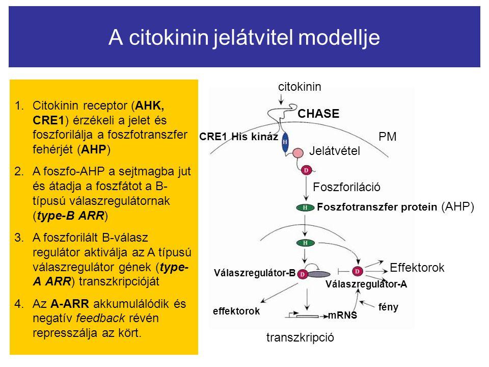 citokinin CHASE PM Jelátvétel Foszforiláció Foszfotranszfer protein (AHP) Effektorok Válaszregulátor-A Válaszregulátor-B effektorok fény mRNS transzkr