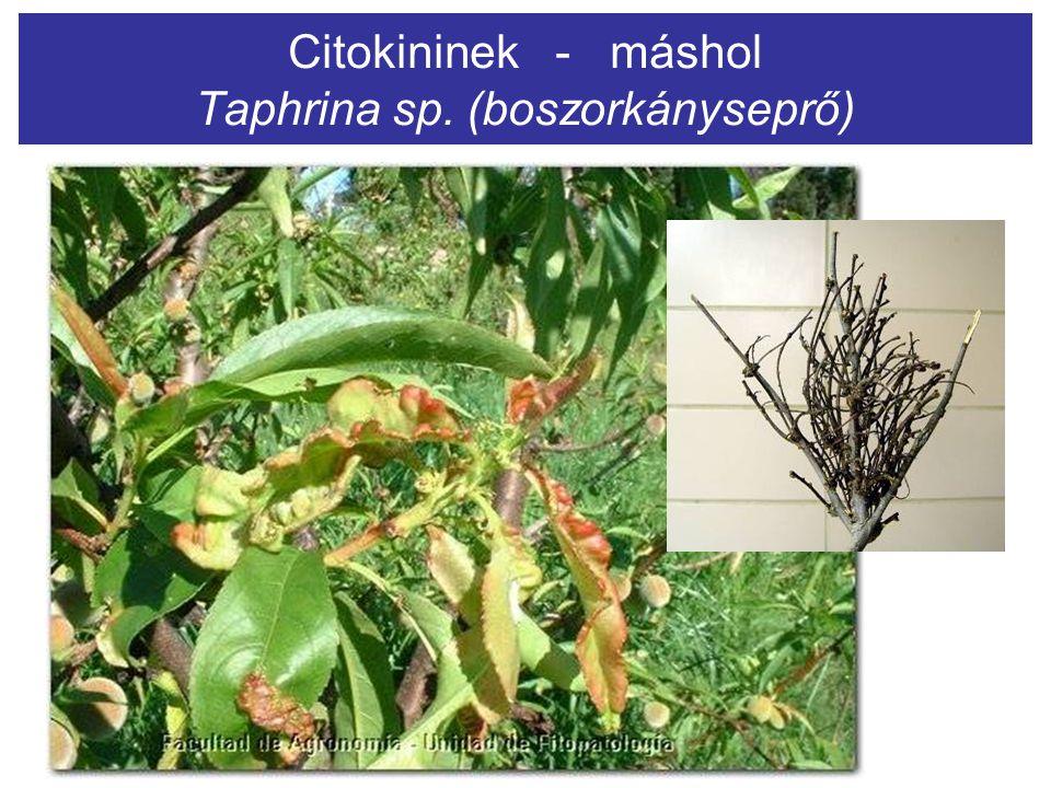 Citokininek - máshol Taphrina sp. (boszorkányseprő)