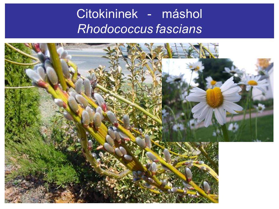 Citokininek - máshol Rhodococcus fascians