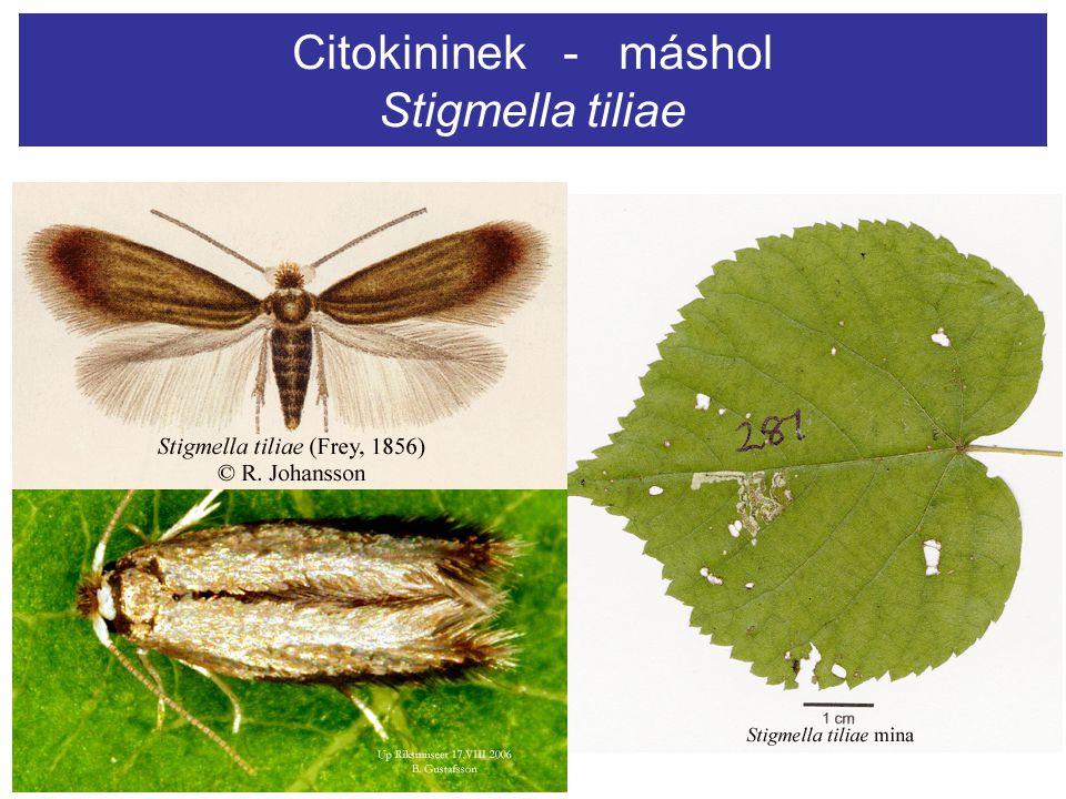 Citokininek - máshol Stigmella tiliae