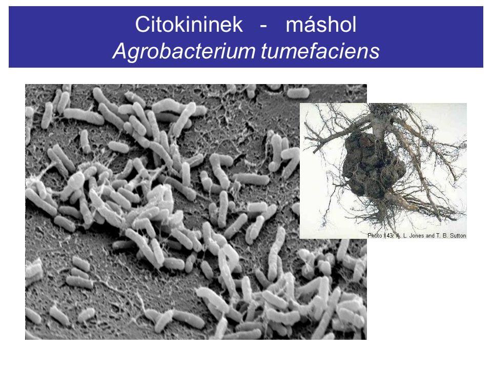 Citokininek - máshol Agrobacterium tumefaciens
