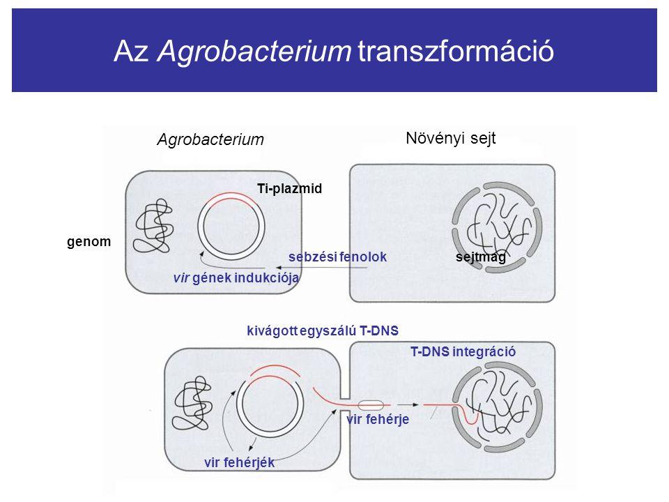 Az Agrobacterium transzformáció Agrobacterium Növényi sejt sebzési fenolok Ti-plazmid vir gének indukciója kivágott egyszálú T-DNS vir fehérje vir feh