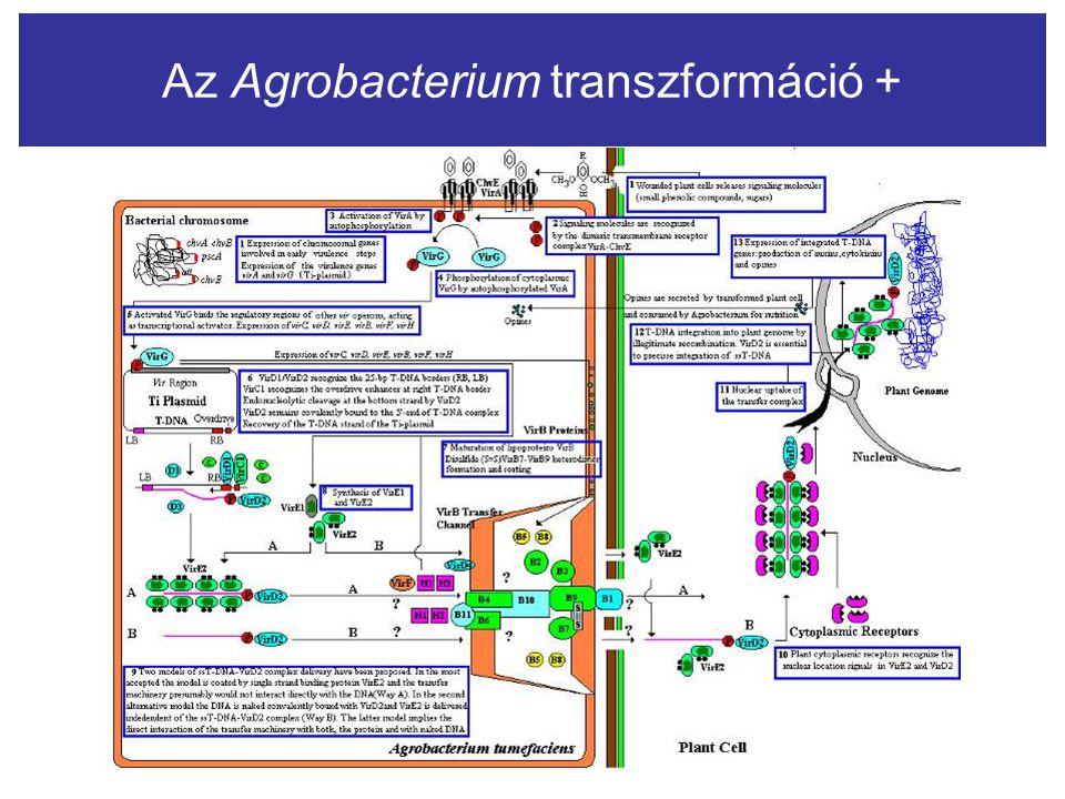 Az Agrobacterium transzformáció +