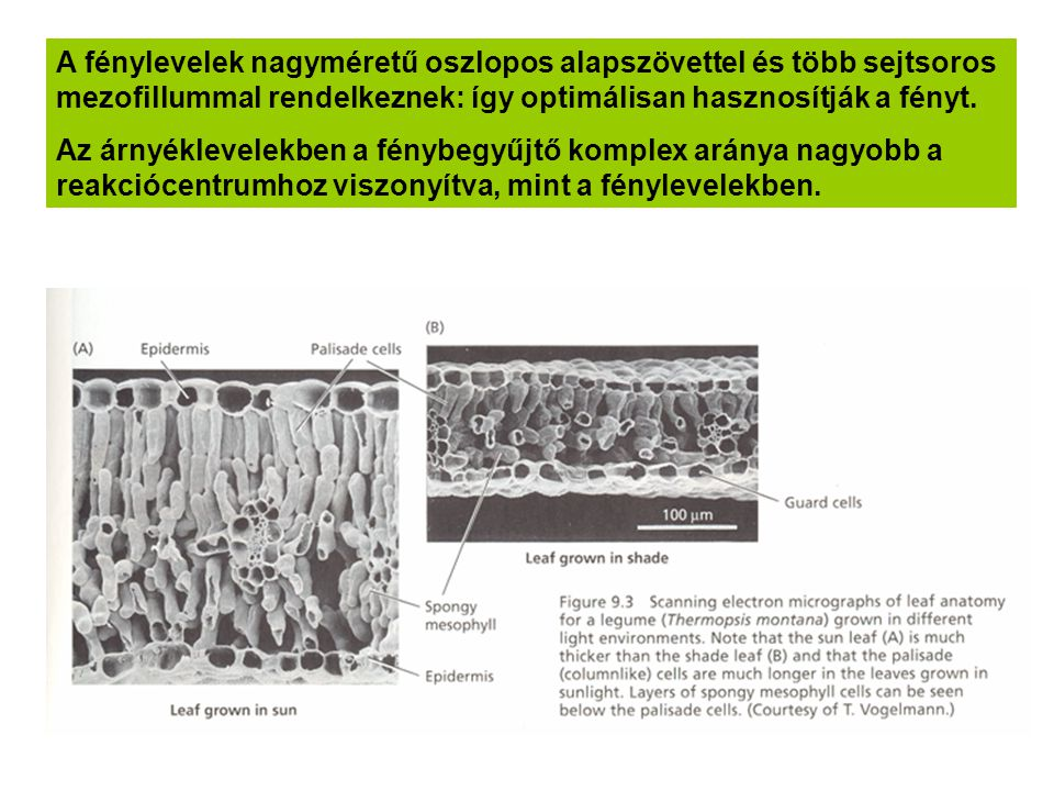 A fénylevelek nagyméretű oszlopos alapszövettel és több sejtsoros mezofillummal rendelkeznek: így optimálisan hasznosítják a fényt. Az árnyéklevelekbe