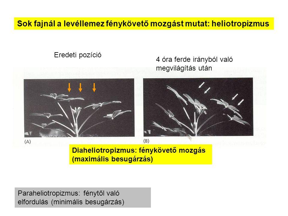 Sok fajnál a levéllemez fénykövető mozgást mutat: heliotropizmus Diaheliotropizmus: fénykövető mozgás (maximális besugárzás) Eredeti pozíció 4 óra fer