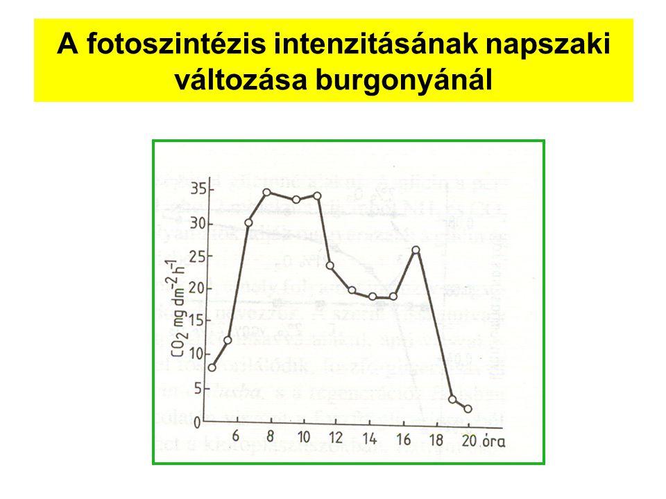 A fotoszintézis intenzitásának napszaki változása burgonyánál