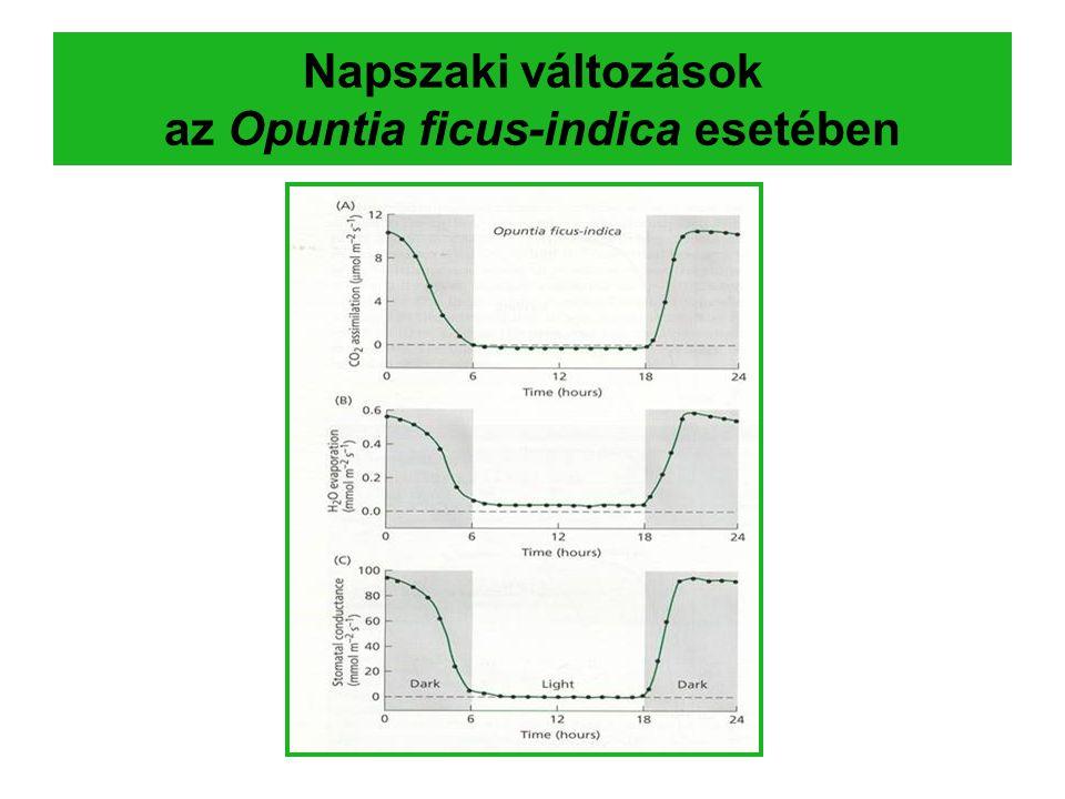 Napszaki változások az Opuntia ficus-indica esetében