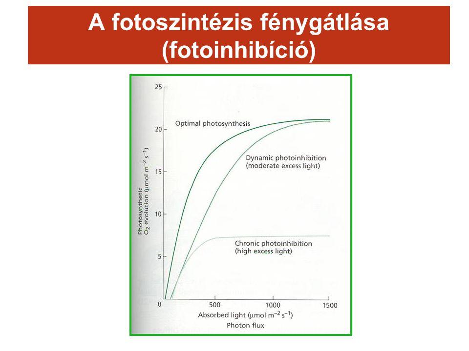 A fotoszintézis fénygátlása (fotoinhibíció)