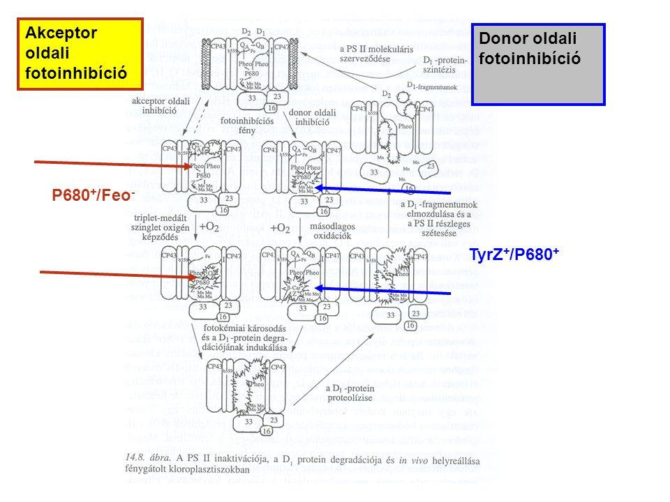 P680 + /Feo - TyrZ + /P680 + Akceptor oldali fotoinhibíció Donor oldali fotoinhibíció